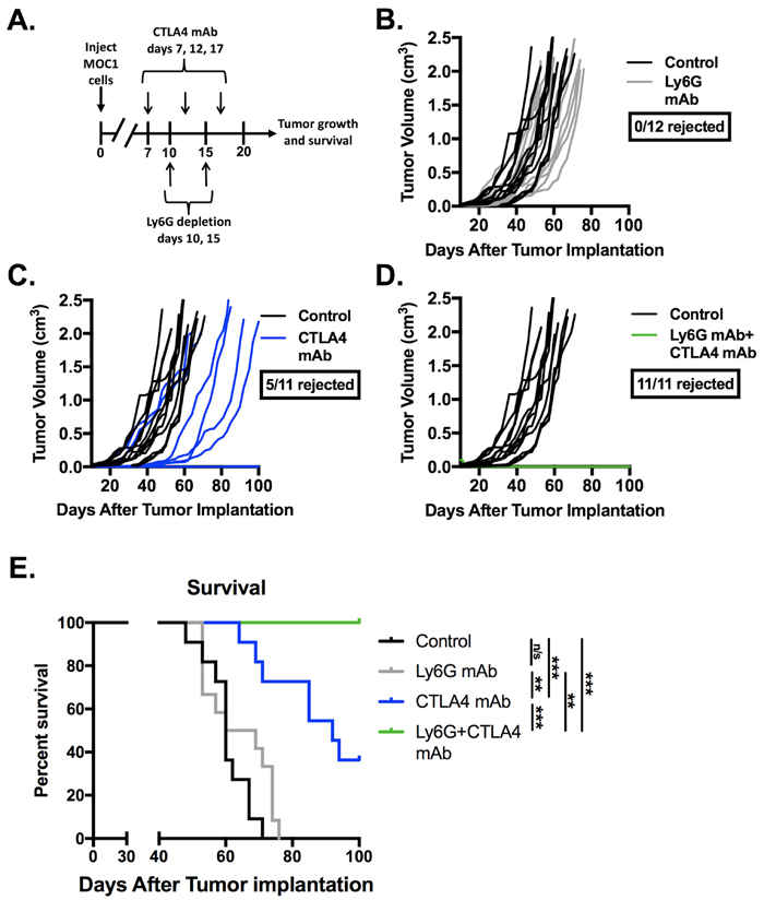 Depletion of gMDSC sensitized MOC1 tumors to CTLA-4 mAb induced tumor rejection.