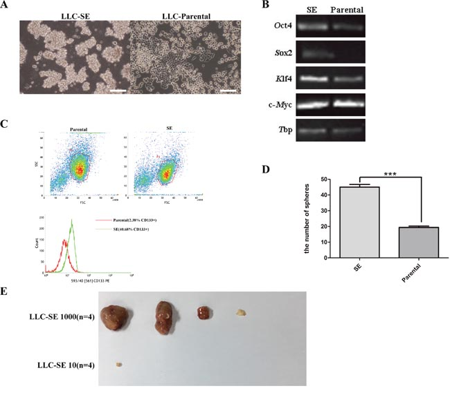 Mouse Lewis lung cancer cell line culture contains a spheroid-forming subcomponent.
