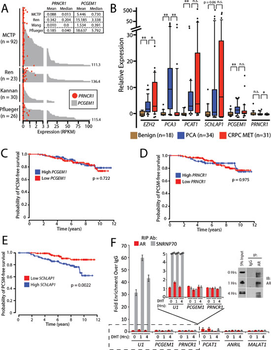 PCGEM1 and PRNCR1 are not associated with prostate cancer progression and do not bind the androgen receptor.