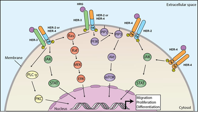 Heregulins bind to HER3 or HER4 to mediate downstream signaling linked to carcinogenesis.