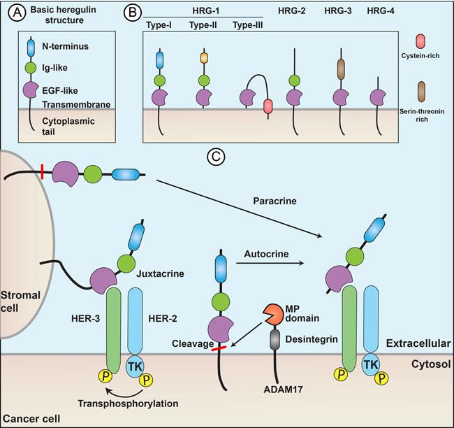 Heregulins act through paracrine, juxtacrine, or autocrine signaling.