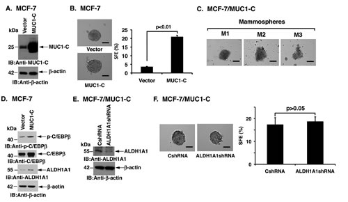 Overexpression of MUC1-C induces MCF-7 mammosphere formation.
