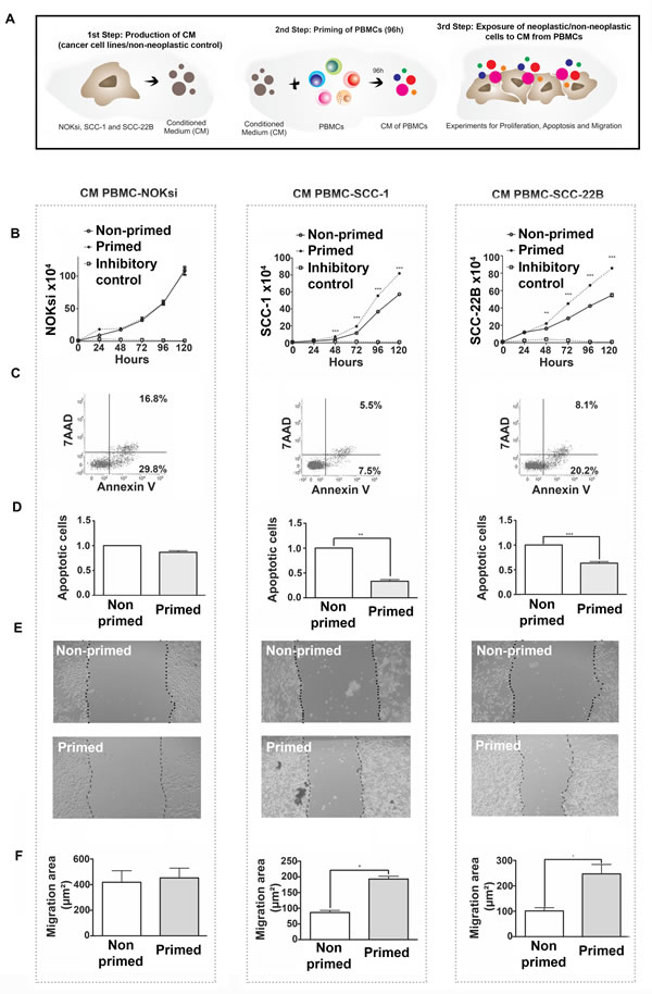 Immunomodulation of PBMCs by HNSCCs ('priming of PBMCs') leads to pro-oncogenic effects independent of direct contact.