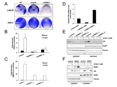 NWD1 participates in androgen receptor (AR) signaling.