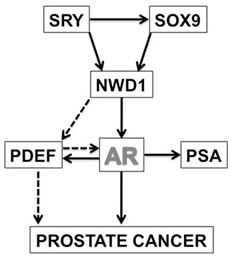 NWD1-dependent AR signaling.