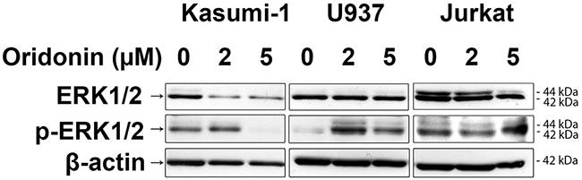 Western blotting analysis of ERK1/2 protein levels.