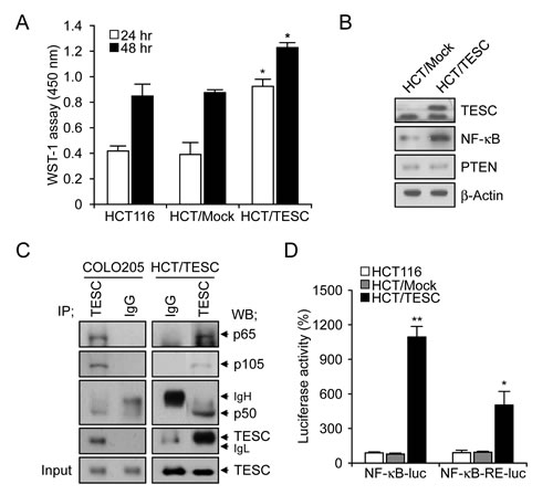 Interaction between TESC and NF-κB regulates cell proliferation in TESC-overexpressing HCT116 cells.