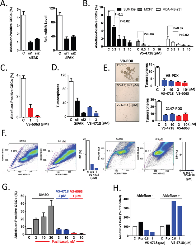 Inhibition of FAK signaling preferentially targets breast CSCs in vitro.