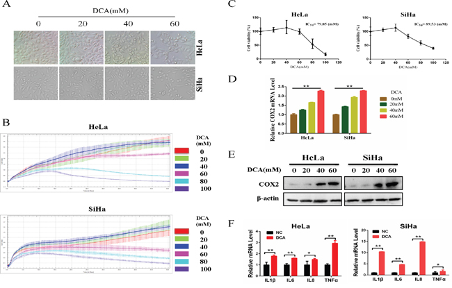 DCA suppresses the survival of cervical cancer cells while upregulates COX2.