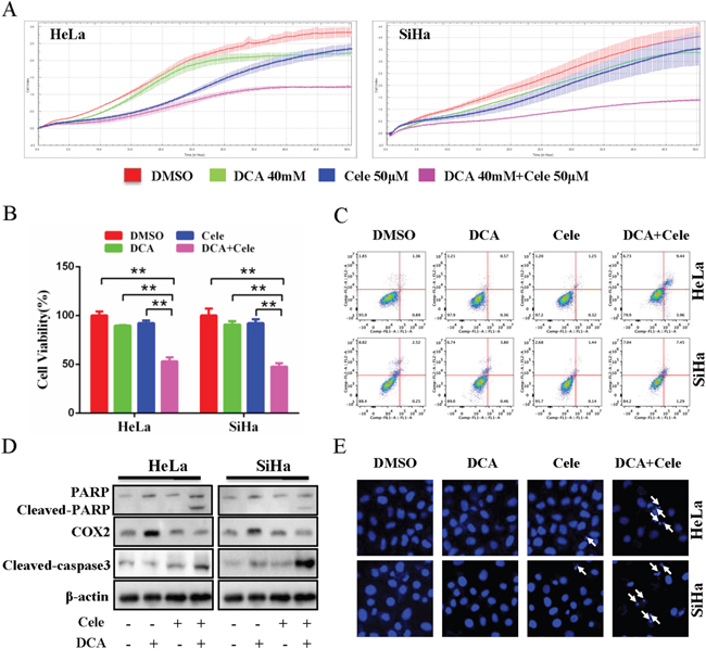 Inhibition of COX2 sensitizes DCA to kill cervical cancer cells.
