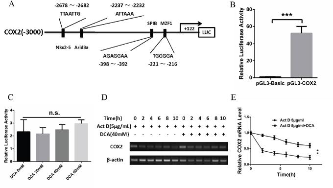 DCA upregulates COX2 via enhancing its mRNA stability.