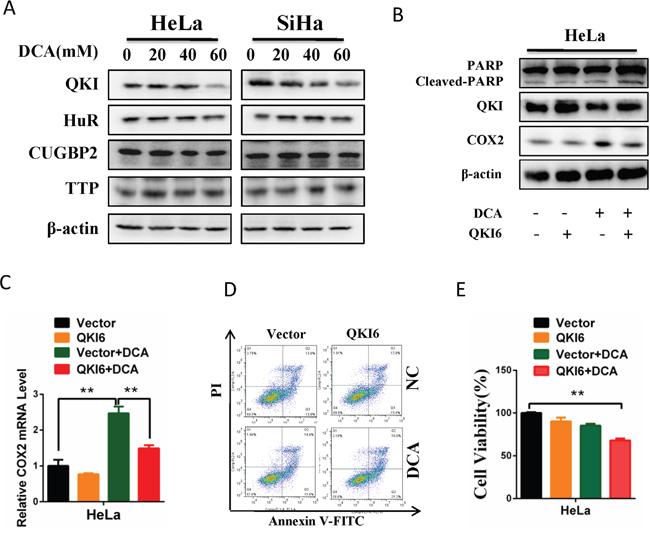DCA increases COX2 mRNA stability through downregulating QKI.