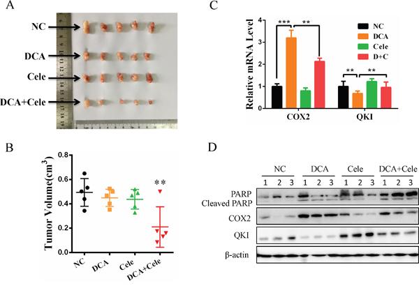 Celecoxib enhances the chemosensitivity of cervical cancer cells to DCA in vivo.