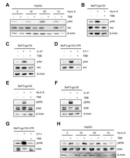Fig 3: Inhibition of CK2 blocks ERK and Akt signaling.