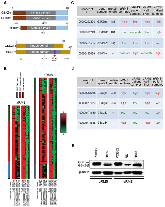 GSK3α and GSK3β expression in RMS cell lines, patient samples, and normal muscle.