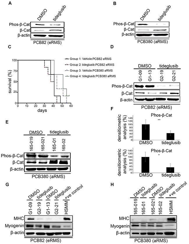 Effects of tideglusib on tumor growth, myodifferentiation in vivo.