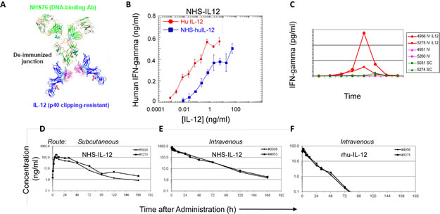 Conjugation of human IL-12 to a DNA/histone-binding antibody increases its half-life and attenuates its ability to stimulate IFN-gamma production.