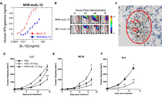 Fusion of murine IL-12 to NHS76 promotes its uptake by tumors and improves its anti-tumor efficacy.