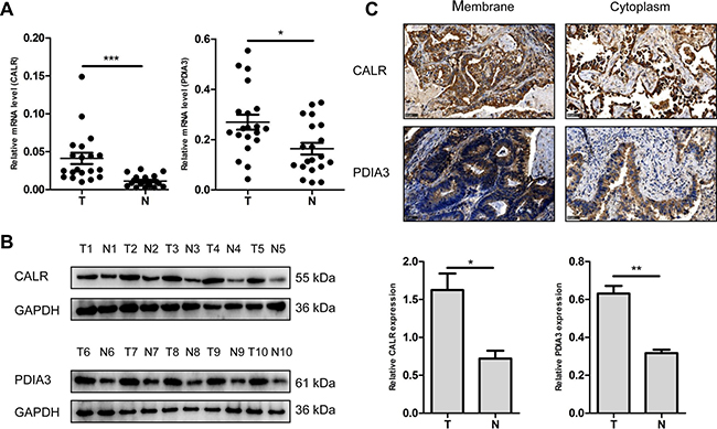 Validation of dysregulated CALR and PDIA3 expressions.