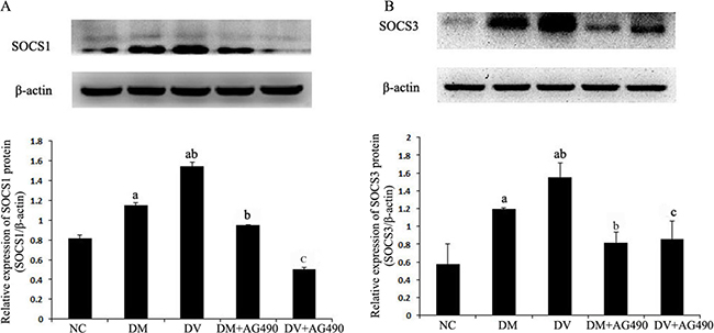 Protein expression levels of SOCS1 and SOCS3.