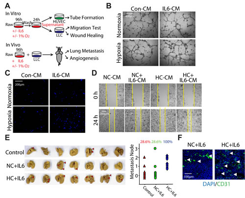 Hypoxia-promoted M2 macrophages enhance the progression of LLC both in vitro and in vivo.