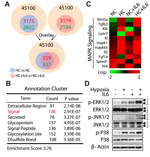 MAPK cascade is operative in M2 macrophage polarization under hypoxic conditions.