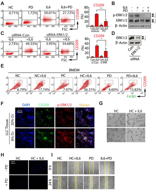 Hypoxia promotes M2 macrophages polarization and tumorigenesis by activating ERK signaling.