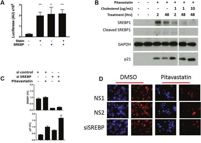 The role of SREBP1 in p21 expression and cell growth in PDA cells.