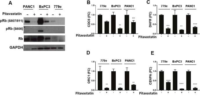 Pitavastatin represses Rb phosphorylation and E2F target gene expression.