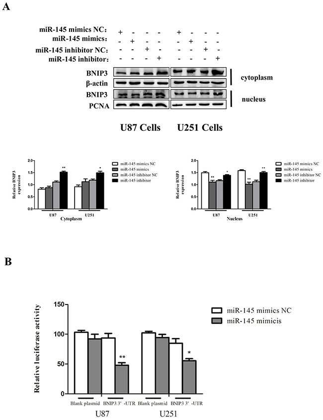 miR-145 inhibits mRNA and protein expression of BNIP3.