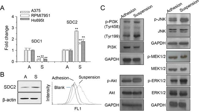 Increased SDC2 expression and kinase phosphorylation in melanoma cells under anchorage-independency.