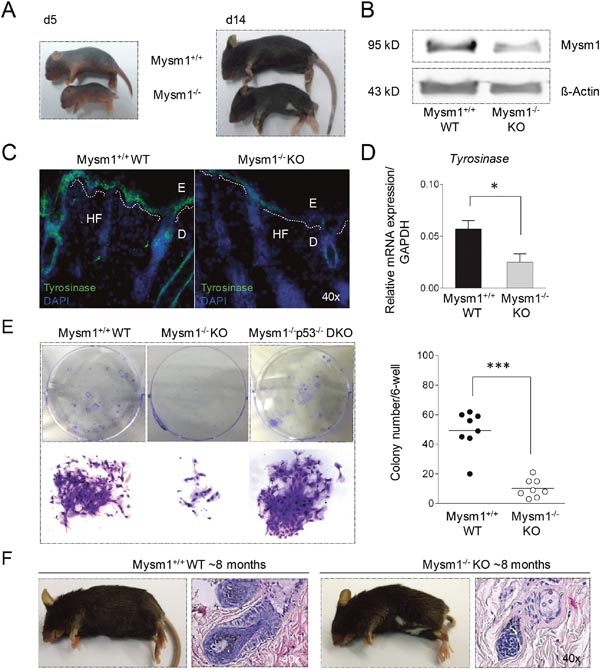 Pigmentation defect and altered melanocyte specification in Mysm1-/- mice.
