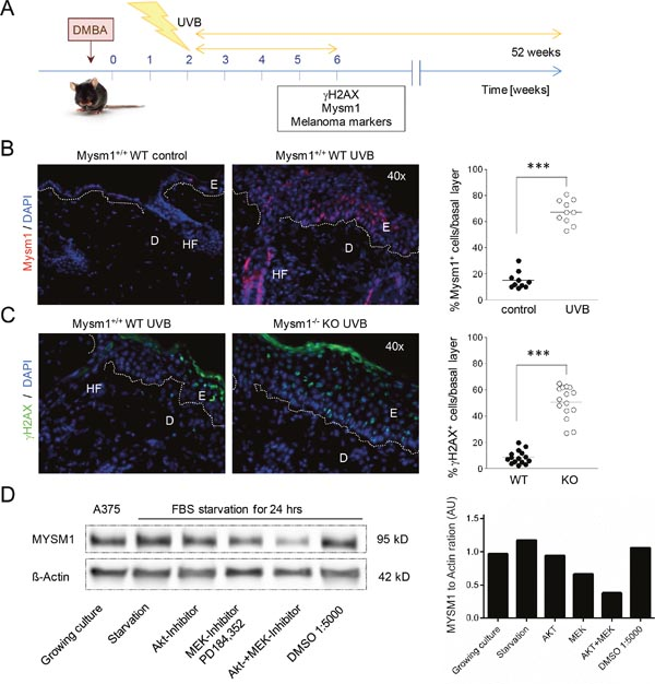 MYSM1 is regulated by UV-exposure of the skin and by growth factor signals in A375 melanoma cells.