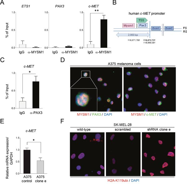 Binding of MYSM1 to the human c-MET promoter and co-localization with PAX3 and MET in A375 melanoma cells.