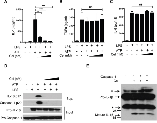 Celastrol suppresses IL-1β secretion and caspase-1 activation in mouse macrophages.