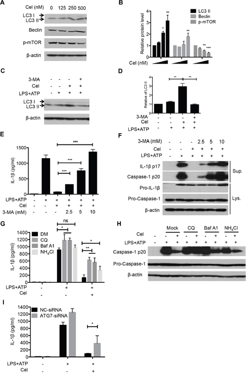 Celastrol-induced autophagy mediates NLRP3 inflammasome inhibition.