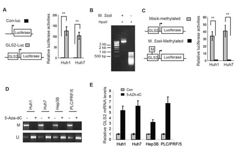 Promoter hypermethylation reduces GLS2 expression in HCC cells.