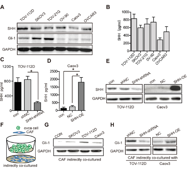OC cell-derived SHH activates Hh signaling of CAFs.