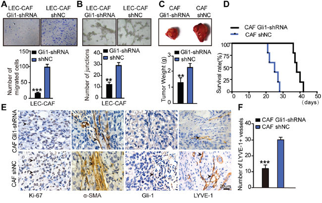 Inhibition of Hh signaling in CAFs blocks its effects on lymphangiogenesis in vivo and in vitro.