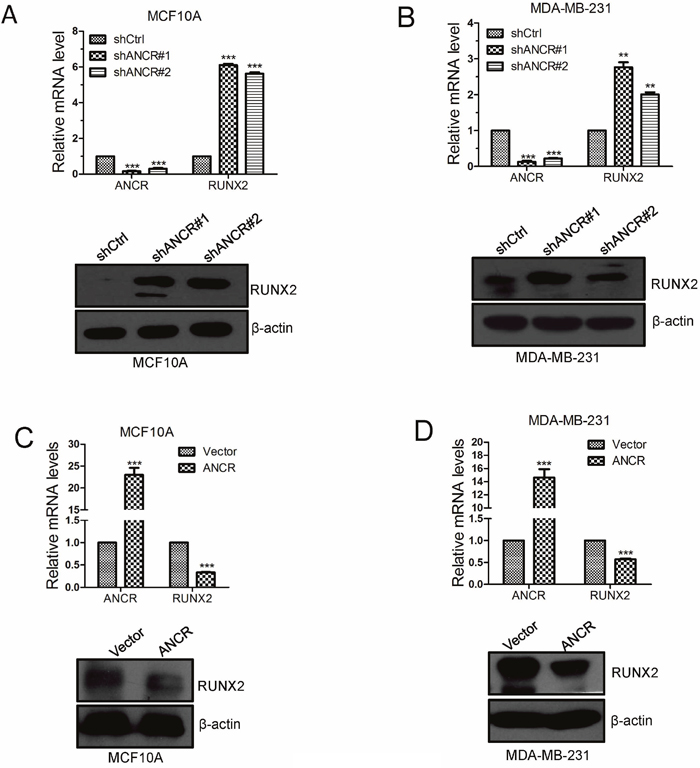 ANCR decreased RUNX2 expression in breast cancer cells.