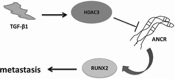 Proposed working model of 'TGF-β-ANCR-RUNX2 pathway' in breast cancer metastasis progression.