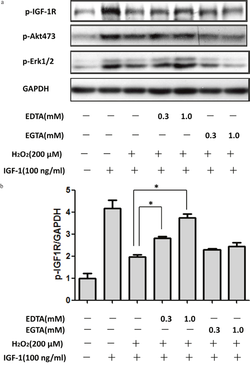 Extracellular Ca2+ chelation EDTA rescued the inhibitory effect of H2O2 on the pro-survival signaling of IGF-1 in SH-SY5Y cells.