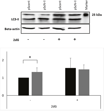 Protein expression of LC3-II (size 17 kDa) and beta-actin (size 42 kDa) in MDA-MB-231-pScont and -pScN-II cells cultured in normal media or exposed 16 hours to 2-deoxyglucose.