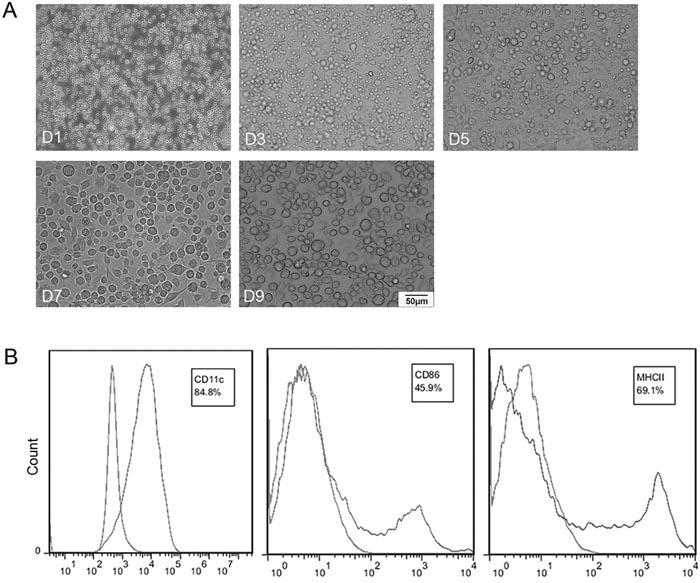 Characterizations of bone marrow generated DCs (BmDCs).