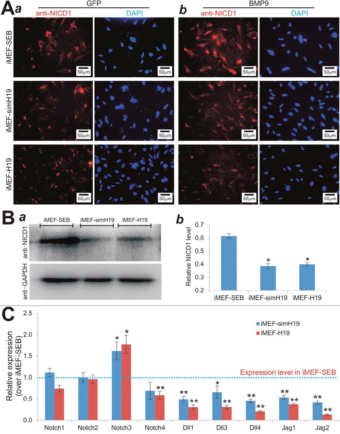 lncRNA H19 mediates BMP9-induced osteogenic differentiation by modulating Notch signaling.