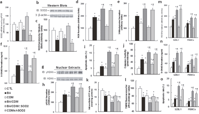 Combination of betulinic acid (BA) and chidamide (CDM) synergistically potentiates ROS formation, DNA damage and apoptosis, while SOD2 overexpression diminishes this effect.