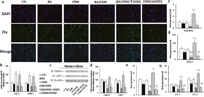 Combination of betulinic acid (BA) and chidamide (CDM) synergistically suppresses EBV activation and replication in EBV-positive tumor cells, while SOD2 overexpression diminishes this effect.