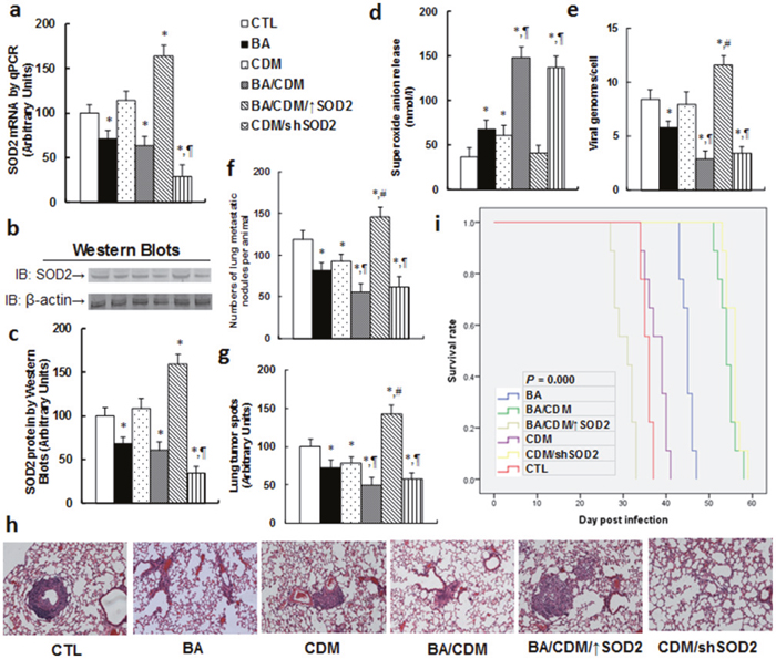 Combination of betulinic acid (BA) and chidamide (CDM) synergistically potentiates oxidative stress and suppresses EBV replication and tumor growth in in vivo xenograft tumor development, while SOD2 overexpression diminishes this effect.