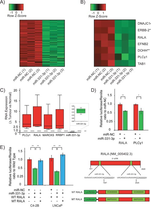 RALA is a direct target of miR-331-3p in PCa cells.