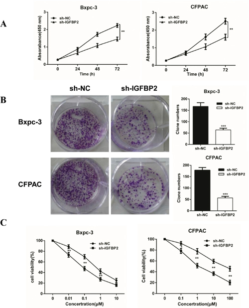 Knockdown of IGFBP-2 inhibits proliferation and increases sensitivity to gemcitabine in vitro.